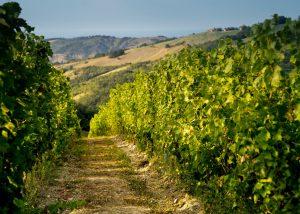Vineyards Of Cantina Della Volta Winery