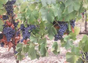 Vines at Cantina Ortenzi