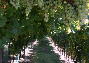 vineyard of cantina tamburino sardo di fasoli adriano & figli
