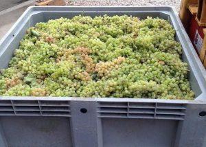 Harvest At Cantina Tamburino Sardo Di Fasoli Adriano & Figli Winery
