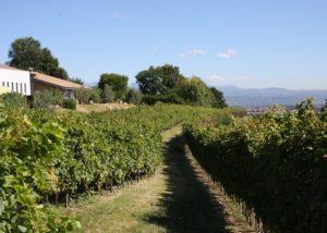 path between the rows of vines at cantina tamburino sardo di fasoli adriano & figli