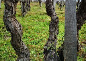 Vines Of Cantine Di Nessuno Winery