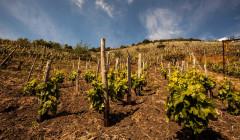 Vineyard Of Cantine Di Nessuno Winery