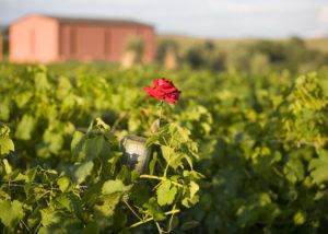 Vineyard Of Capua Winery Winery