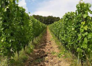 Vineyard Of The Carastelec Winery