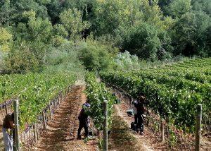 Vineyard Of Carobbio Winery