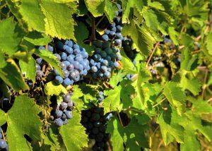 Grapes At Carus Vini Winery