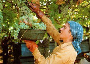 A Woman Harvesting Grapes At Casale Del Giglio Società Agricola Winery