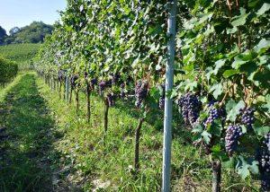 Vineyard Of Cascina Vèngore Winery