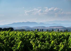 castell del remei lush grapevines on vineyard near winery in spain