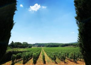 Vineyard Of Castello Poggiarello Winery in Chianti, Tuscany, Italy