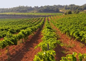 celler grau i grau amazing and lush vineyard near winery in spain