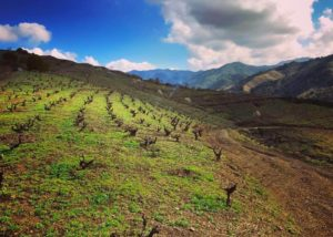 Vineyard Of The Celler Joan Simó Winery