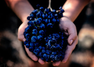 grapes grown at Celler Jordi Lluch vineyard holded in hands in Spain
