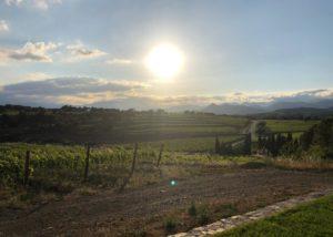 huge vineyard of Celler Mas Polit winery in Spain