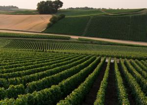 Vineyard Of Champagne Legret & Fils Winery
