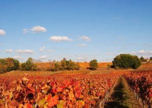Vineyard Of Chateau Armandiere Winery