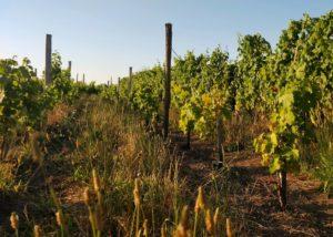 Vineyard Of Château Vieux Landat Winery