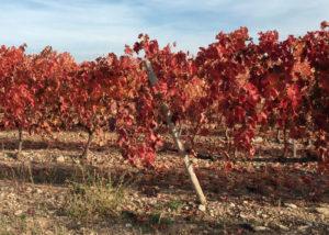 Consejo De La Alta red-colored vines in Spain