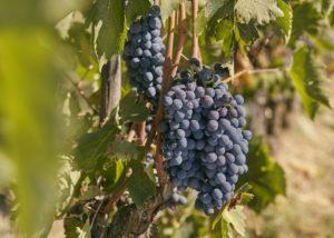 grapes at conti capponi - villa calcinaia