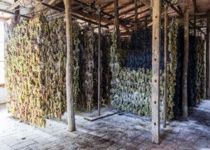 drying grapes at conti capponi - villa calcinaia