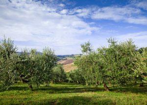Vineyard Of Conventino Montecoccardo Winery
