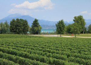 Vineyard Of Corte Sermana Winery