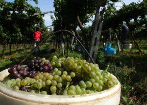 Harvest At Cristiana Bettili Wines Winery