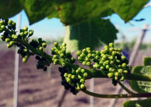Vines Of `D'Arapri Agricola Winery