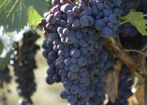grapes at davinum