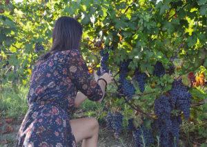 Prunning At Dogliani Il Generale Winery