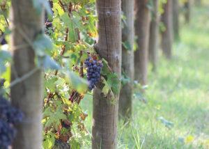 Grapes At Dogliani Il Generale Winery