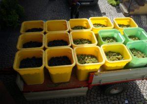 Harvest At Domaine Frédéric Mochel Winery