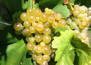 grapes growing at domaine jean-louis schoepfer