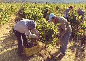 domaine nikolaou winemakers picking ripe black grapes on vineyard near winery