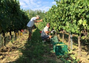 Staff Working At Fattoria Fibbiano Winery in Chianti, Tuscany, Italy