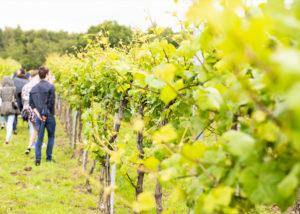Vineyard Of Fattoria Svetoni Winery