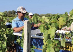 Men Working At The Vineyards Of Felline Winery