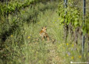 fox walking at Maius Viticultors vineyard in Spain