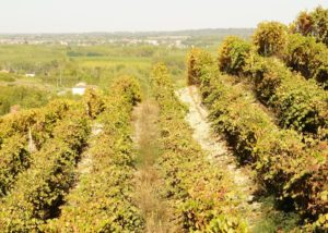Vineyard Of Franco Ivaldi Winery