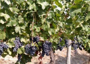 Black Grapes At Freire Lobo Unipessoal Winery