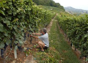 Vineyard Of Gianfranco Alessandria Winery