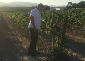 giró del gorner winemaker inspecting grapes on vineyard near winery