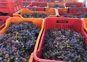 Harvest At Girolamo Russo Winery