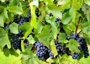 Grapes at Agamy