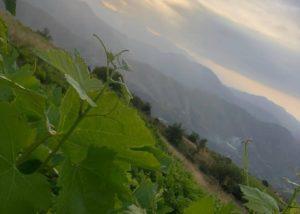 Bodegas Calvente green leafs of vines at vineyard in Spain