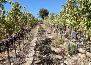 Vineyard Of I Sodi Winery