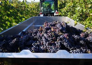 Harvest At Il Molinaccio Di Montepulciano Winery