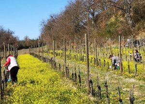 Vineyard Of Il Molinaccio Di Montepulciano Winery