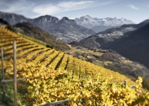 Vineyard Of Kellerei Bozen Winery